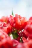 тюльпаны dof крупного плана красные отмелые Стоковое фото RF