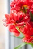 тюльпаны dof крупного плана красные отмелые Стоковое Изображение RF