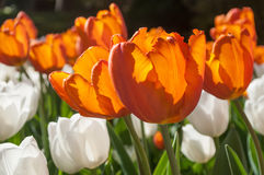 тюльпаны orangeade белые в поле стоковое изображение
