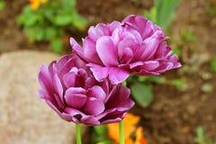 Тюльпаны pionovydnyh пар на зеленой предпосылке Стоковое Фото