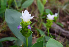 Тюльпан белизны Сиама стоковое изображение rf