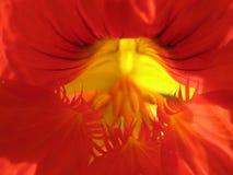 тюльпан близкого цветка красный вверх стоковые фотографии rf