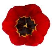 тюльпан близкого цветка красный вверх Стоковое фото RF