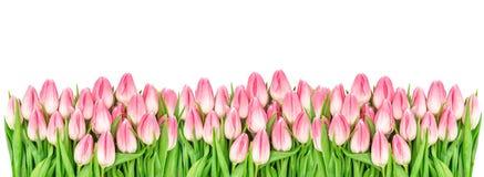 Тюльпан весны цветет изолированное знамя белой предпосылки флористическое Стоковые Изображения RF