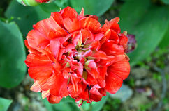 Тюльпан двойника Cilesta последний Стоковое Изображение
