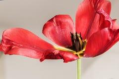 тюльпан вянуть красным цветом Стоковые Изображения