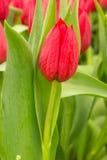 Тюльпан в поле Стоковое фото RF