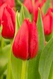 Тюльпан в поле Стоковая Фотография