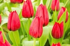 Тюльпан в поле Стоковое Изображение