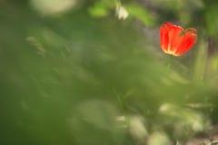 Тюльпан в саде Стоковое Изображение RF