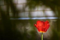 Тюльпан в саде Стоковые Изображения RF