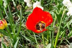 Тюльпан в Keukenhof стоковая фотография rf