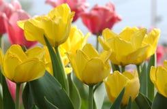 Тюльпан желтого цвета Стоковая Фотография