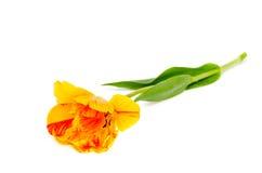Тюльпан желтый и красным цветом покрашенный Стоковое Фото