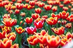 Тюльпан зацветая в парке Стоковая Фотография