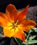 Тюльпан зацветенный лилией вызвал Балерину Стоковая Фотография