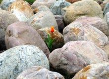 Тюльпан и большие камни Стоковая Фотография RF