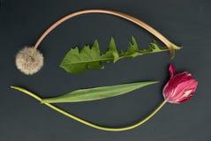 Тюльпан и одуванчик стоковая фотография rf