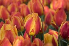 Тюльпан красивейшие тюльпаны букета цветастые тюльпаны тюльпаны в s Стоковое фото RF