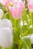 Тюльпан красивейшие тюльпаны букета Стоковая Фотография RF