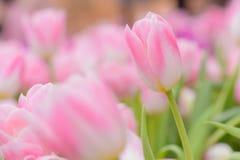 Тюльпан красивейшие тюльпаны букета Стоковые Фотографии RF