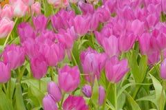 Тюльпан красивейшие тюльпаны букета Стоковое Изображение RF
