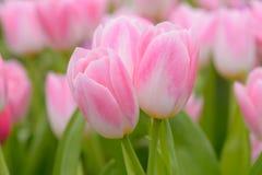 Тюльпан красивейшие тюльпаны букета Стоковая Фотография
