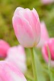 Тюльпан красивейшие тюльпаны букета Стоковое фото RF