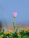 Тюльпан красивейшие тюльпаны букета стоковые изображения