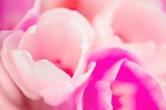 тюльпан красивейших флористических лепестков предпосылки розовый Стоковое Изображение RF