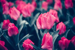 Тюльпан Красивые розовые тюльпаны цветут весной сад, флористическая предпосылка стоковое изображение rf