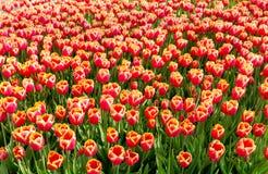 тюльпан 01 красного цвета Стоковые Фотографии RF