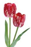 тюльпан 01 красного цвета Стоковые Фото