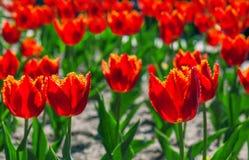тюльпан 01 красного цвета Стоковые Изображения RF
