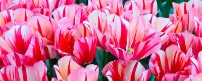 Тюльпан красочного крупного плана красный между розовой предпосылкой праздника Стоковые Изображения RF