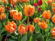 Тюльпан крупного плана оранжевый в Голландии Стоковые Фото