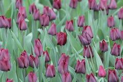 Тюльпан на конце весны вверх в цветочном саде Стоковое Фото