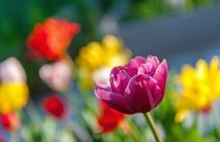 Тюльпан на покрашенном bokeh предпосылки весной на солнечный день, селективный фокус стоковое изображение