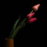 Тюльпан на черной предпосылке Стоковые Фото