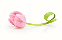 Тюльпан пинка цветка весны Стоковое Изображение