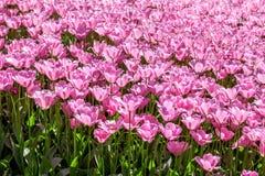 тюльпан поля розовый Стоковые Фото