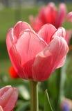 Тюльпан розового цвета Стоковая Фотография