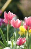 Тюльпан розового цвета Стоковое Фото