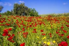 тюльпан сада Стоковые Фотографии RF