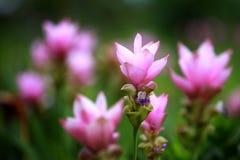 Тюльпан Сиама - тайский цветок Оно возможно вызвано alismatifoli Куркумы Стоковое фото RF