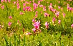 Тюльпан Сиама Стоковое фото RF