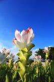 Тюльпан Сиама Стоковое Изображение