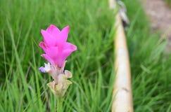 Тюльпан Сиама стоковая фотография rf