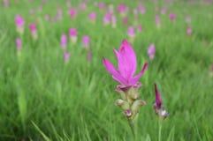 Тюльпан Сиама стоковые фото
