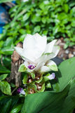 Тюльпан Сиама Стоковая Фотография